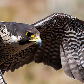 Saker Falcon by M K - Animals Birds ( bird, animals, bird of prey, falcon, animal )