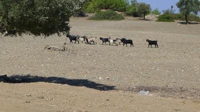 Sheep of Pedesa