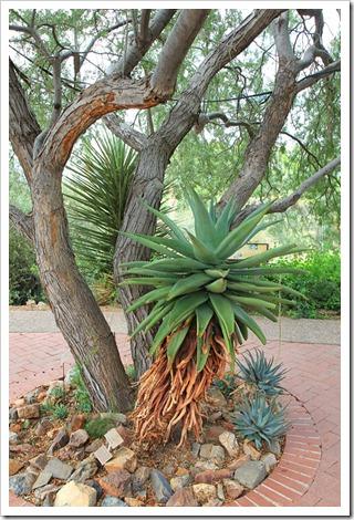 120728_ArizonaSonoraDesertMuseum_Aloe-ferox_01