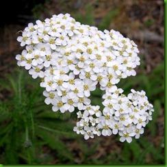 Achilea milefolium
