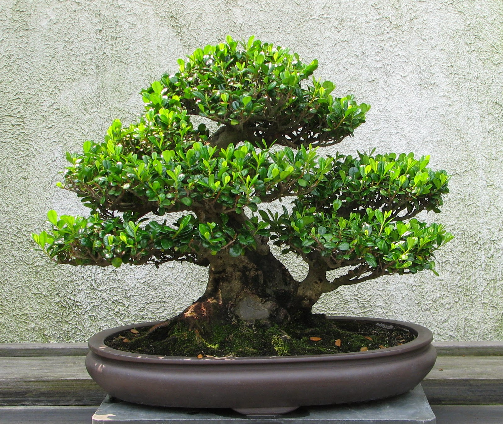 Everyday Dose Bonsai Tree