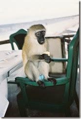 405px-Blue_balls_(photo_of_monkey_by_Peter_Klashorst)