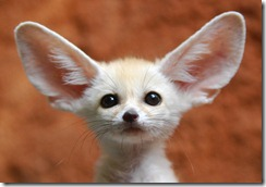 big-ears-animal