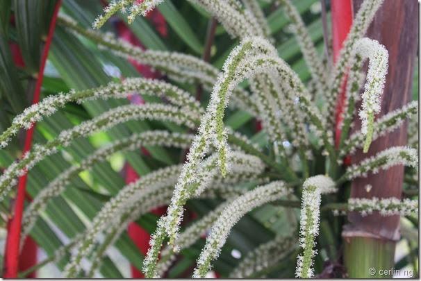 Cyrtostachys renda flower