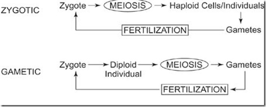 zygotic and gametic meiosis