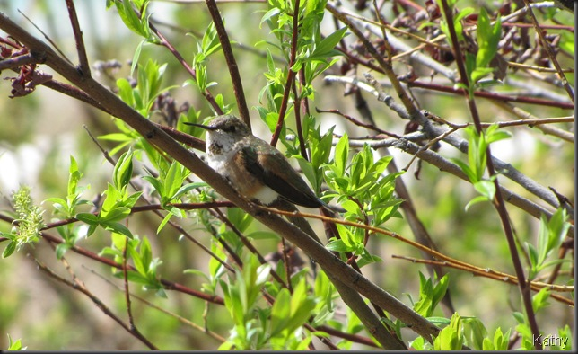 Female Rufous Hummingbird
