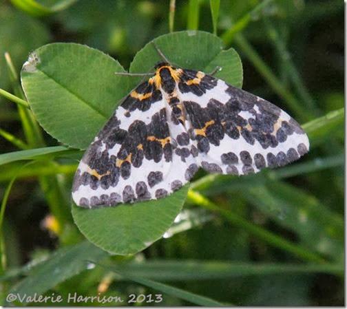 magpie-moth (2)