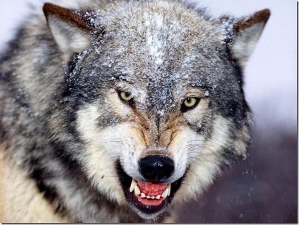 Lobos (21)