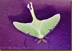 Luna Moth_D074605West Virginia  NIKON D7000 May 06, 2011