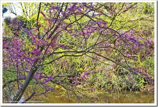 150307_UCDA_049_cercis-occidentalis