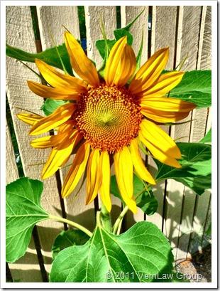 SunflowerP1030075
