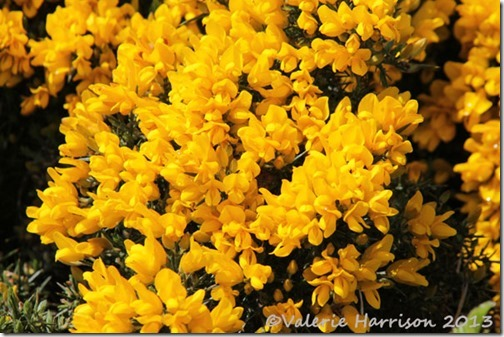 16-gorse