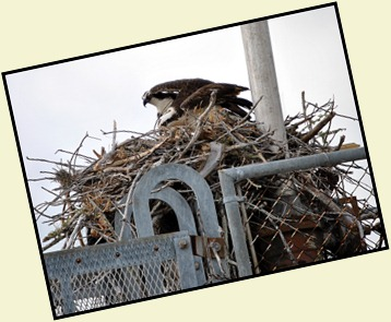 3a - Osprey Mom and Dad changing Places