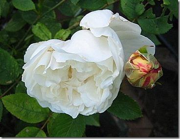 Hvit rose 2