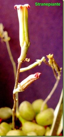 Adromischus marianae little spheroid infiorescenza