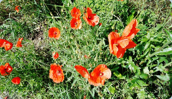 A posy of poppies