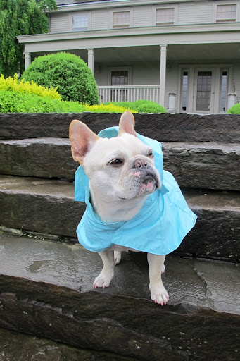 Francesca, it's raining again!  Good thing we have these new rain slickers from PetSmart.