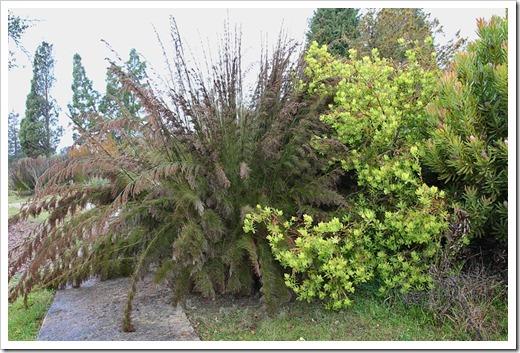 120211_UCSC_Arboretum_Rhodocoma-capensis- -Leucadendron-laureolum