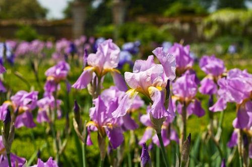 Irises-7