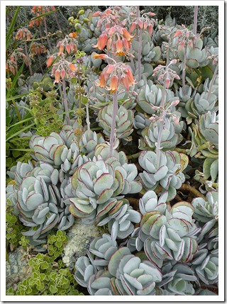 Cotyledon-orbiculata-var2