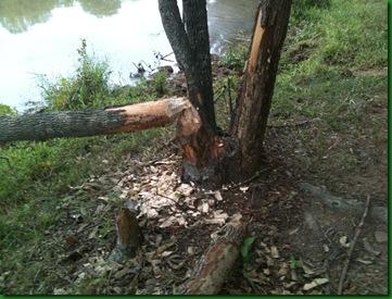 Beaver 006