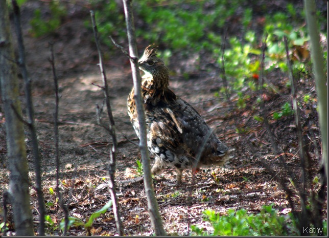 Ruffed grouse tippy toeing