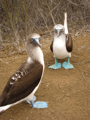 Blue footed boobies on Isla de la Plata, Ecuador