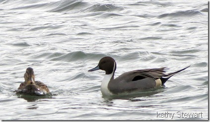 Male Pintail and a female Mallard at the log bay
