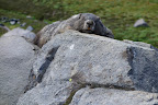 A very photogenic Marmot