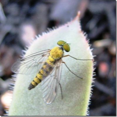20120607 Chrysopilus asiliformis SV