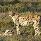 Gepard mit gerissener Antilope, Namiri Plains © Foto: Judith Nasse | Outback Africa Erlebnisreisen