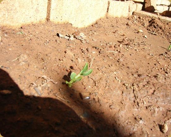 Peas, 2012 - 2.5 weeks (2)