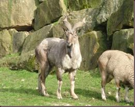 Amazing Animals Pictures Markhor (4)