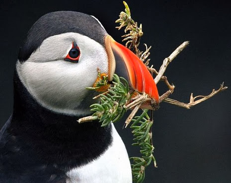 Amazing Pictures of Animals, Photo, Nature, Incredibel, Funny, Zoo, Puffins, Bird, Aves, Alex (20)