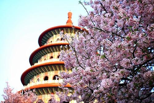櫻花在臺灣新北市天元宮_Cherry_blossom_in_New_Taipei_City,_TAIWAN.jpg