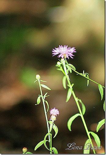 Centaurea_Knapweed