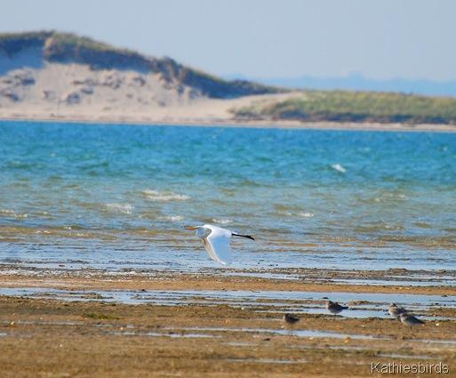 19. Great egret-kab