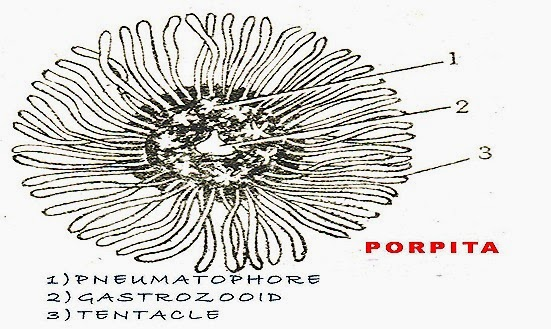 Porpita-polymorphism-coelenterates