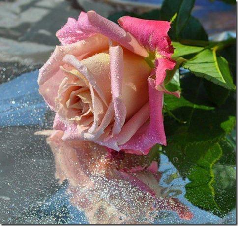 flores-facebook-tumblr-rosas-las flores-fotos de flores-773