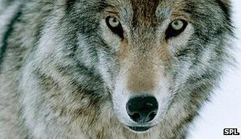 _65432538_c0138432-gray_wolf-spl