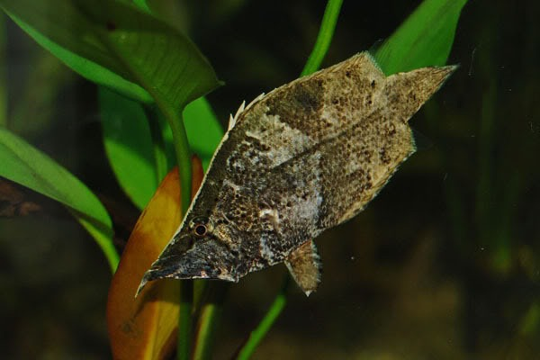 South American Leaf Fish