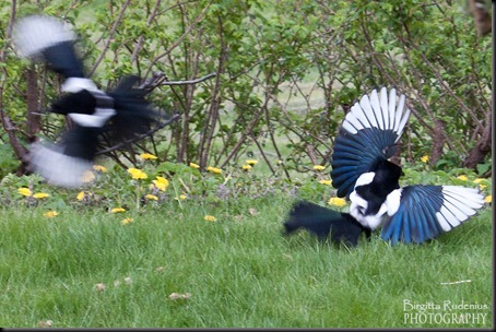 birds_20120509_skator