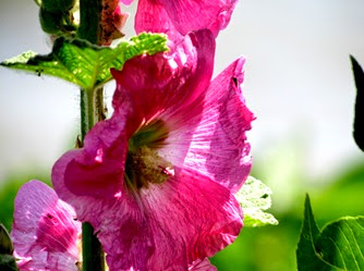 1407048 July 02 Hollyhocks By Niagara Rivers