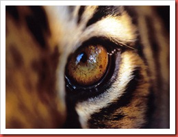 beautiful-tiger-animal-fierce