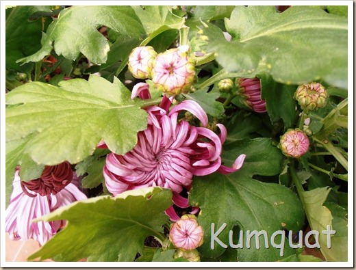 crisantemo turner 6