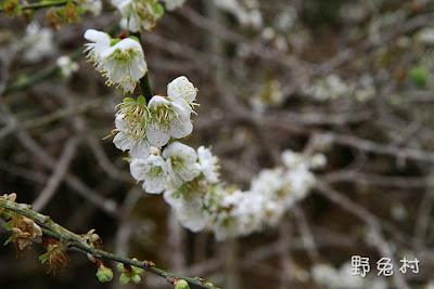 [臺南-花木] 2012 梅花現梅嶺