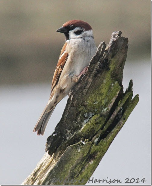 122-tree-sparrow