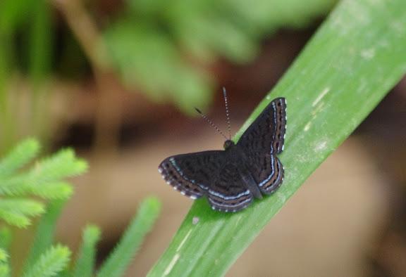 Riodinidae : Charis anius CRAMER, 1776, mâle. Bagne des Annamites, 19 novembre 2012. Photo : J.-M. Gayman