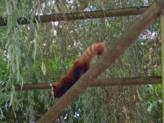 2013.10.26-021 panda roux