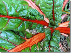 Sue Reno, Rainbow Swiss Chard